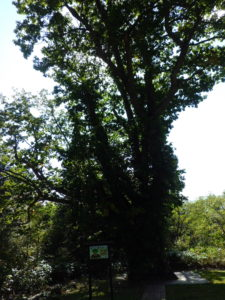推定樹齢450年のミズナラ大木